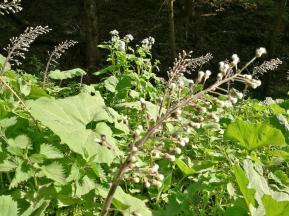 Feuchtpflanzen am Bach Blazsiepen