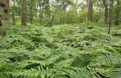 Der Wald ist voller Farne