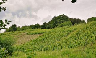 Neu angelegte Weinberge bei Unkel