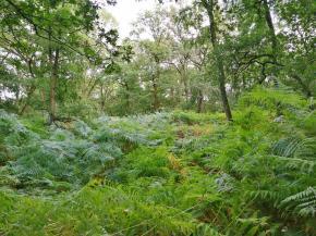 Der Waldboden ist dicht mit Farnen überdeckt