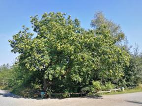 Prächtiger Kastanienbaum an der Pionierquelle