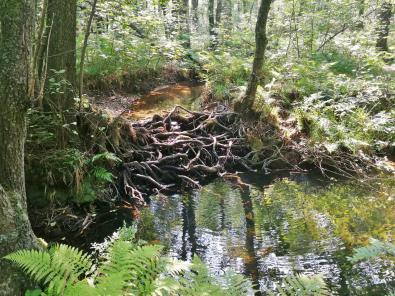 Natürlicher Damm aus Wurzelwerk