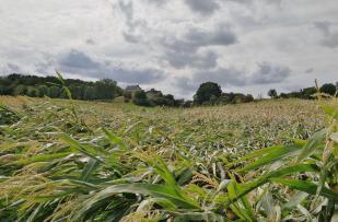 Hier hat ein Sturm im Maisfeld gewütet