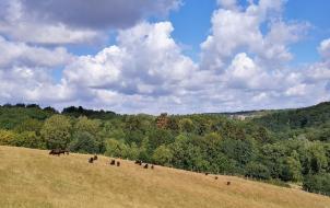 Eine Herde von Auerochsen