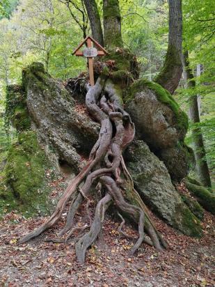 Mächtige oberirdische Wurzelns eines Baums im Kiental mit Gedenkkreuz für die Forstarbeiter