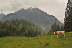 Auf der Kälberplatte weiden Kühe