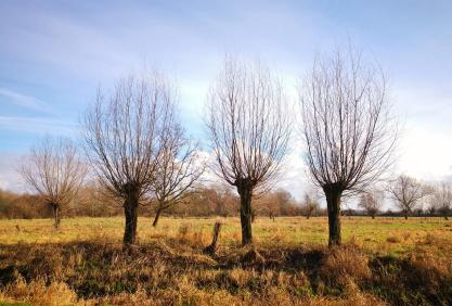 Typisches Bild am Niederrhein: Kopfweiden am Rande feuchter Wiesen