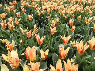 Wir sind in Holland: Tulpen dürfen da bei der Stadtbegrünung natürlich nicht fehlen