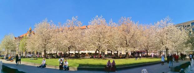 Blühende Obsgbäume auf der gut besuchten Thomaswiese vor der Thomaskirche