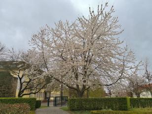 Überall blühen die Kirschbäume