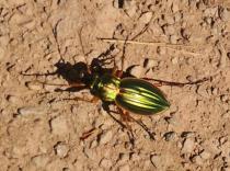 Ein leuchtend grüner Käfer kreuzt unseren Weg