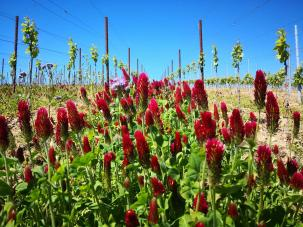 Wildblumen zwischen den Weinstöcken