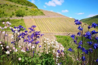 Zwischen den Weinstöcken blüht es