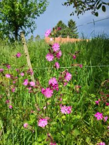 Hübsche Blumen am Rande eines Hohlweges zwischen Feldflächen