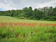 Wildblumen am Fuße des Harleyberges