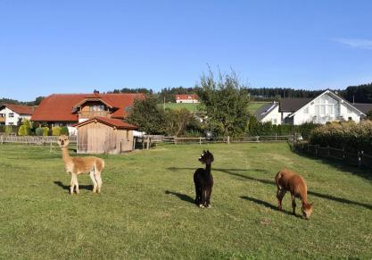 Auf dem Weg ins Wurzacher Ried kommen wir an einer Weide mit Alpakas vorbei