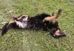 Doxi wälzt sich im frisch gemähten Gras