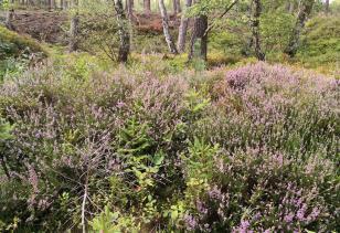 Auf den Lichtungen im Wald blühen bereits die Heidesträucher