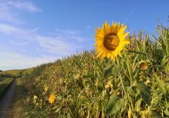 Am Rand der Maisfelder wachsen Sonnenblumen