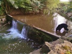 Doxi labt sich an einem Wehr der Steinlach