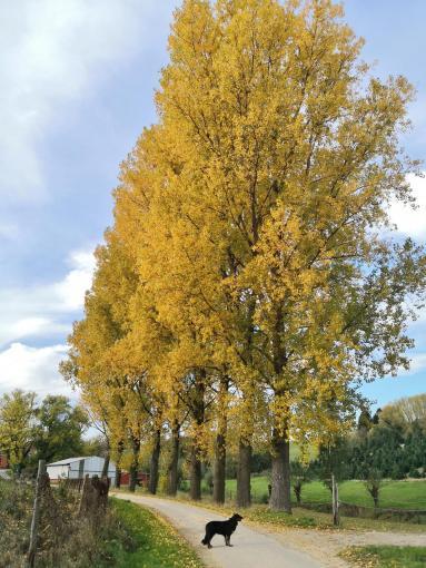 Herbstbunte Pappeln am Hasselbach