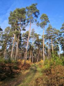Kiefern dominieren an vielen Stellen das Landschaftsbild im Oberbusch