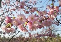 Traumhaft, diese Kirschblüte
