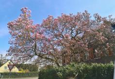 Jetzt startet auch die Magnolienblüte
