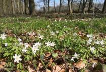 Im Wald: Die ersten Bodendecker blühen bereits
