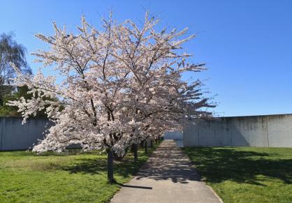 Kirschblüten-Allee vor der Langen-Foundation