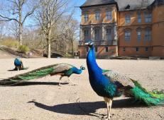 Wir zählen acht männliche und elf weibliche Pfauen im Schlosshof
