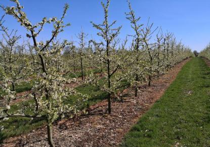 Blühende Apfelbäume in den Plantagen rund um Schloss Dyck