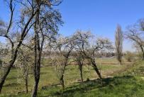 Blühende Obstbäume am Rheindeich