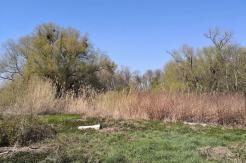 """Schilfbewuchs im Feuchtgebiet """"Kirberger Loch"""""""