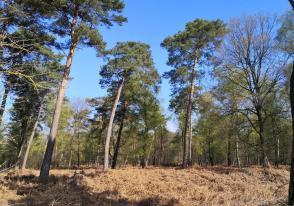 Kiefern prägen an vielen Stellen das Landschaftsbild im Birgeler Urwald