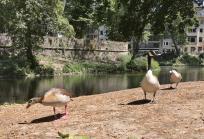 Wasservögel am Speeschen Graben beim Stadtmuseum
