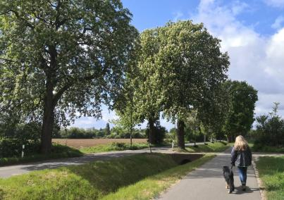 Wunderbar blühende Kastanienbäume am Hökendyk