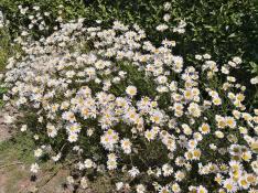 Blühende Margeriten am Wegesrand