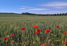 Reife Kornfelder auf dem Weg nach Lohme