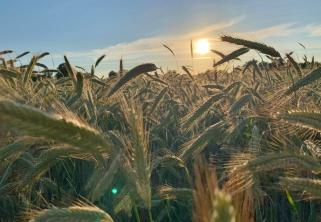 Kornfelder hinter dem Ufer bei Sonnenuntergang