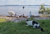 Kätzchen beobachtet Schwanenfamilie