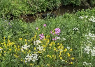Frühlingsblumen an der jungen Urft an der Motte Zehnbachhaus