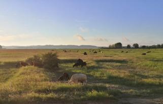 Robste Rinder auf den Salzwiesen zwischen Thiessower Hafen und der Halbinsel von Klein-Zicker