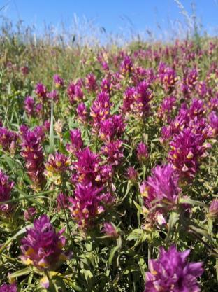 Die Wiesen sind übersäht mit Wildblumen