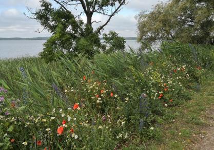 Wildblumen am Seerand