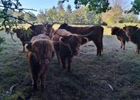 Süße Galloway-Rinder kurz vor Raeren
