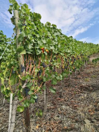 Die Weinstöcke hängen voller erntereifer Reben