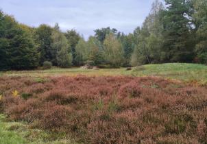 Eine der wenigen Heideflächen im Lohmarer Wald