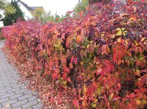 Herbstlich bunte Hecke in Lohmar