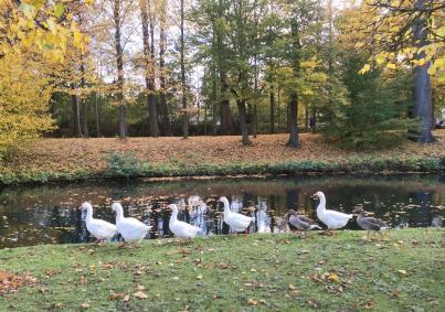 Diese Gänse fühlen sich im Park pudelwohl